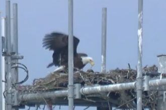 A mother eagle uses pine needles to refresh her nest near the intersection of Thornhill Road and Recker Highway in Auburndale. Two eaglets hatched in the Thornhill Road nest about four weeks ago.