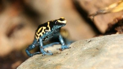A new vivarium in the Polk State Winter Haven science lab houses poison dart frogs.